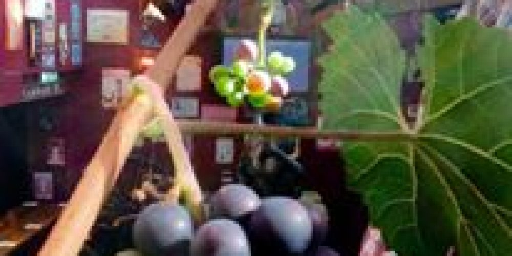 There's grapes growing in McGowans beer garden.